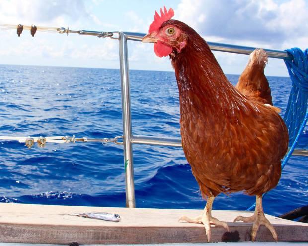 chicken_1